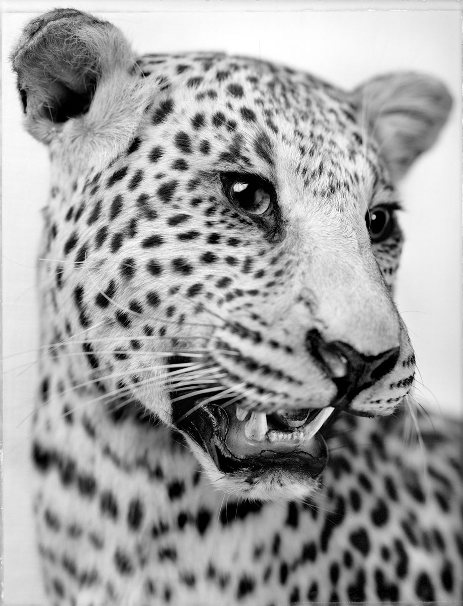 anima-10-leopardo